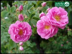 گلاب معمولی ارگانیک