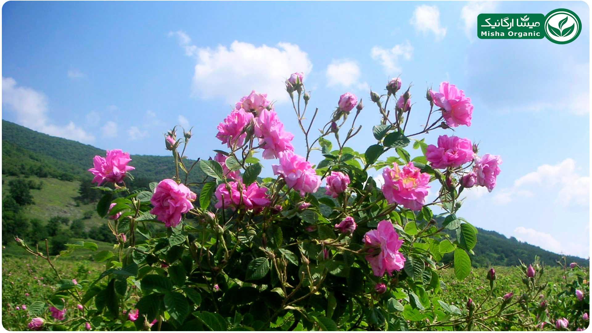 گلاب ارگانیک بیونیک