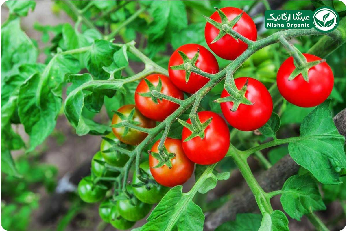 گوجه زیتونی (چری) ارگانیک آبگینه