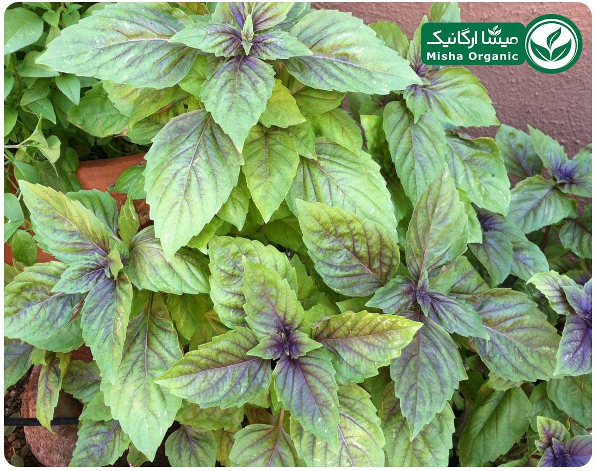 سبزی ریحان ارگانیک آبگینه